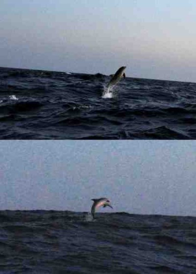 Pictures+of+dolphins+eating+fish