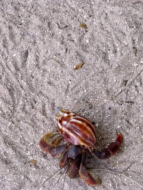 Hermit (land) crab on the beach.