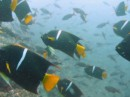 King Angel Fish - a big shoal of those