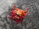 Sally-Lightfoot Crabs
