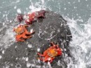 Sally-Lightfoot Crabs cling to the rocks.