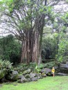 A huge Banyan tree.