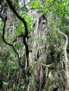 One of the old Banyan trees