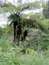 Tall tree ferns Nuku Hiva