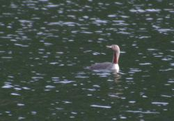 A Red Throated Loon
