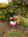 Goats hiding from the rain under bushes