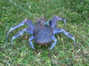 Coconut crab.