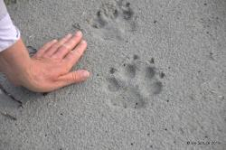 Wolf prints in the sand