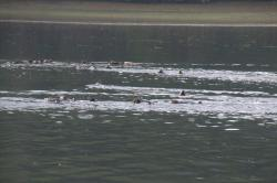 A raft of Sea Otter