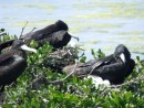 Adult Frigate Birds sitting on nests.