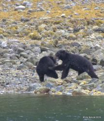 Bear fight Cachalot inlet