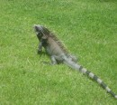 The iguanas roam freely throughout the Westin grounds