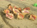 The incredible edible conch