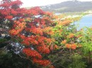 The Flambouyant tree is blooming everywhere right now!.JPG