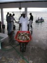The fishermen also brought in 200-300 pounds of conch meat daily!!!