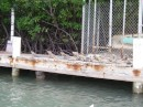 Iguanas were just hanging out on this dock!