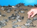Puerto Vallarta - Baby turtles that hatched that morning ready to be transported to the beach for release.