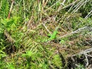 San Blas Jungle Tour - there is a green iguana hidden in the brush.