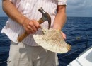 Conch – Part 1. After collecting from sandy bottom, take claw of hammer and puncture shell (in just the right spot).
