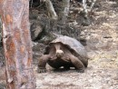 Run for your lives! Tortoise in motion!