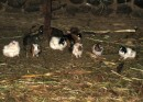 Guinea Pigs - These cute guys are not pets, they are about to be dinner. Often seen as