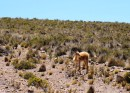 Vicuna - Member of the camel family and has some of the finest hair. Scarfs sell for $600 if made of pure vicuna hair.