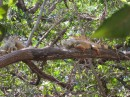 Tree iguanas near Isla Grande, just north of Zihua