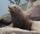 Sea lions are everywhere, adding a lot of character and noise.