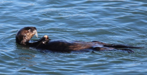 Lots of otters in Morro Bay.  We saw tons of them in large groups.