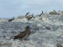 Immature brown booby or red-footed booby Isla? Isabel Feb 2014
