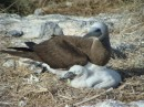Male brown booby and chick Isla Isabel Feb 2014