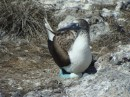 Blue-footed booby on egg Isla Isabel Apr 2014