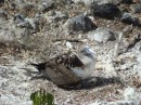 Blue-footed booby with young chick Isla Isabel Apr 2014