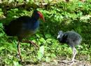 Purple swamphen and young on Fafa Island