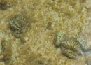 baby giant clam beginstadium