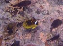 racoon butterflyfish