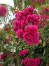 Some incredible species of bouganvillia...to die for...