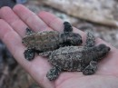 Baby hawskbill turtles. Full grown, their shells can be up to a yard long.