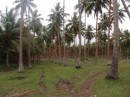 Old French coconut palm plantation