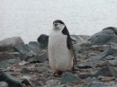 Chinstrap penguin back from the sea