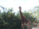 The giraffe we were able to walk up to