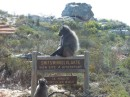 A baboon sits on a sign in the park