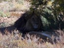 This lion was huge!