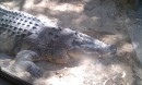 This is the 1/2 ton crocodile at the Wild Life Center.