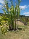 One of the two types of sugar cane grown here at the rum factory
