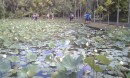 The famous lily pads at the botanical garden