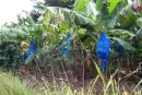 the banana plantation.  The blue bags are used to protect the bananas from the parrots