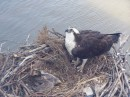 From the cruise ship we got a great view of this nest with a baby Osprey which was born about six months ago.
