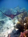 Spotted Eagle Ray at Judy