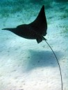 Spoted Eagle Ray
